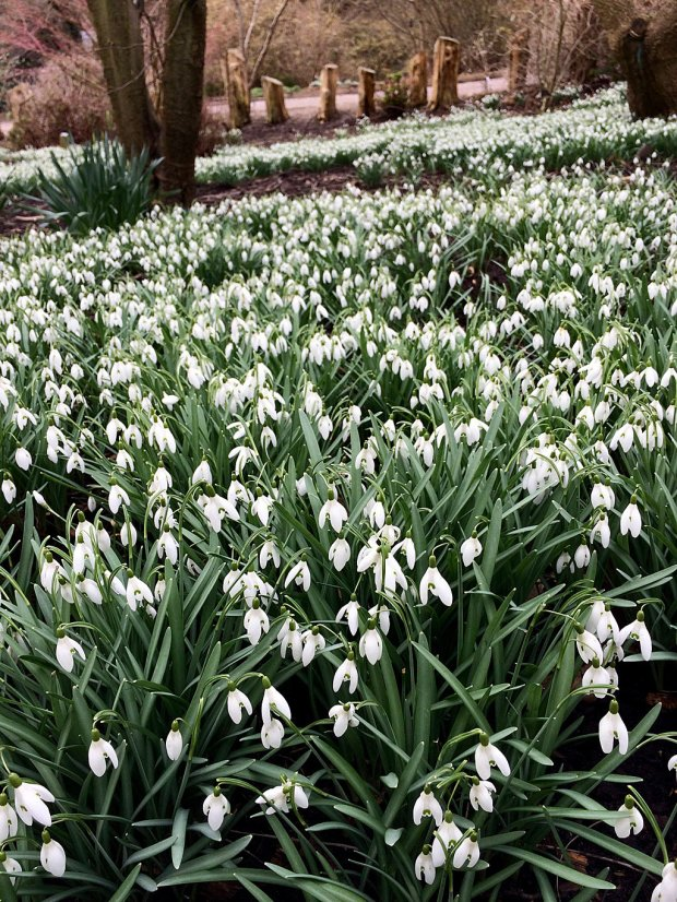 A large drift of snowdrops