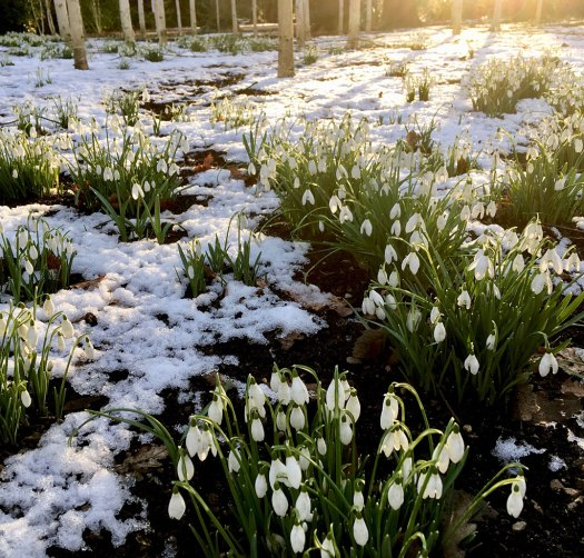 Clusters of snowdrops in the snow