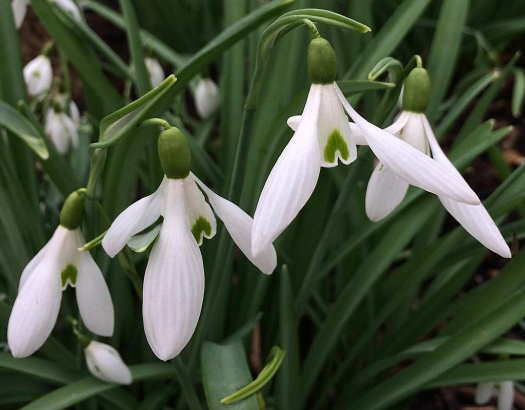Snowdrops with long outer petals