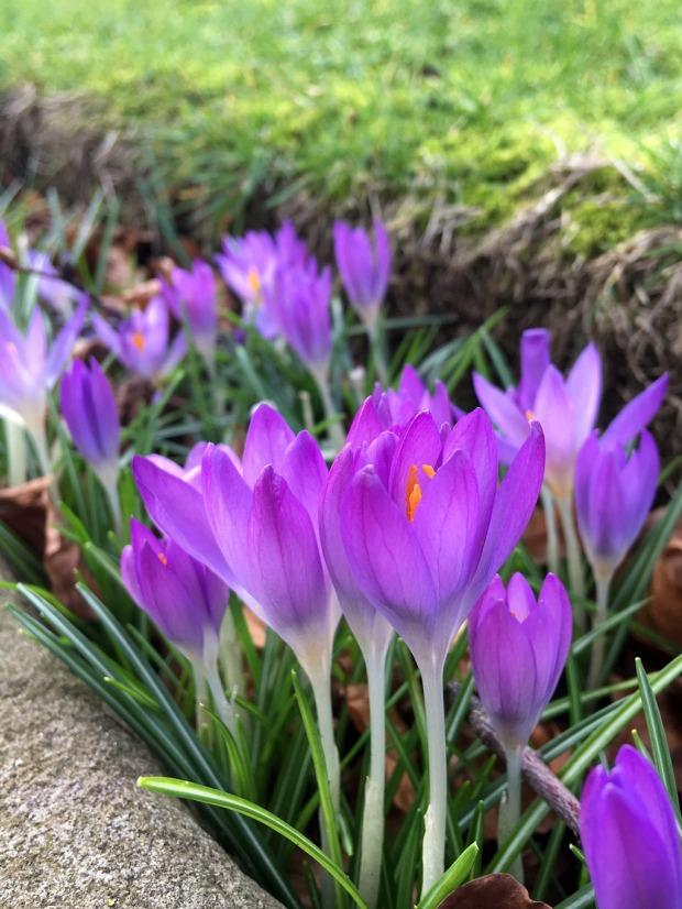 Purple crocuses edging a lawn