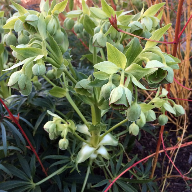 Hellebore with panicles of green, droopy flowers