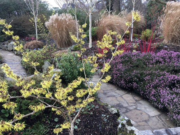 Yellow witch hazel in a garden with tall grasses, dogwoods and heather