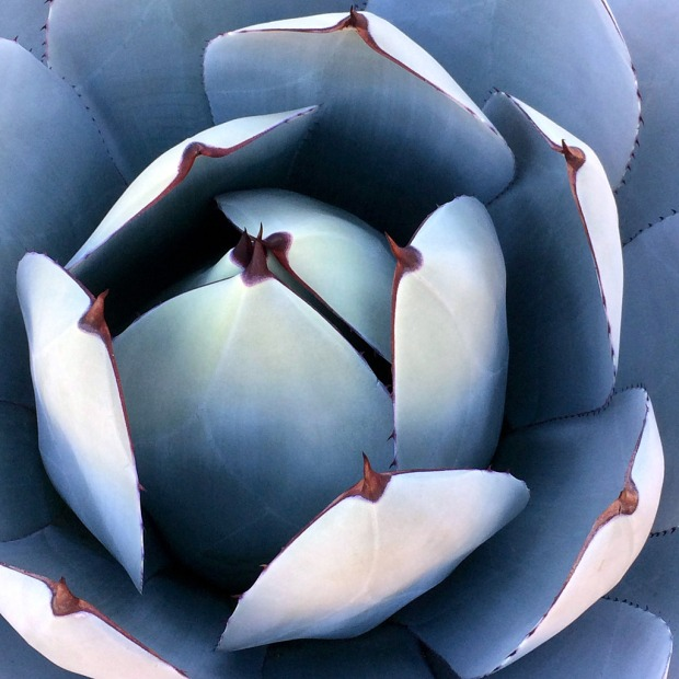 Blue cactus with thorns