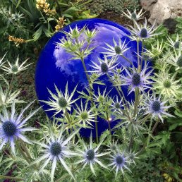 Blue glass orb makes a backdrop for spiky eryngium