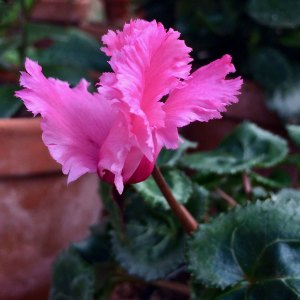 Pink cyclamen flower with feathery-edged petals