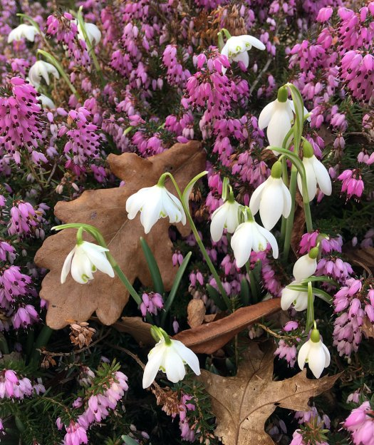 Short, stocky double snowdrops in pink heather