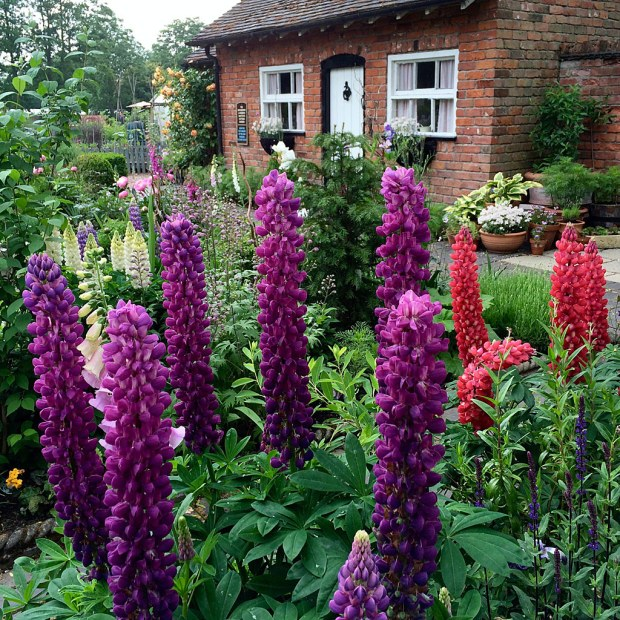 Spires of lupin flowers in a cottage garden