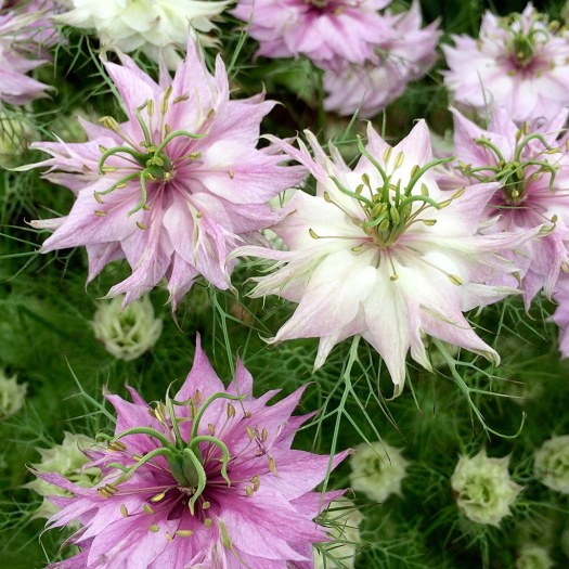 Various shades of pink love-in-a-mist flowers