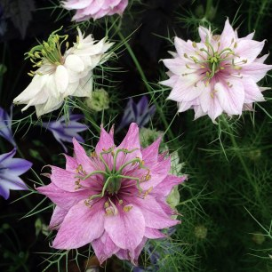 Double love-in-a-mist flowers with fine spiky foliage