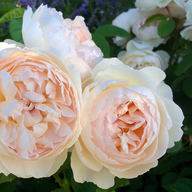 Roses with rounded blooms packed with many petals