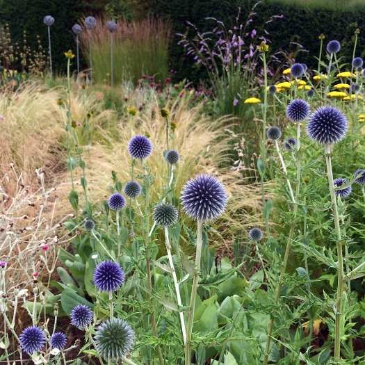 Blue thistle-like flowers in a garden