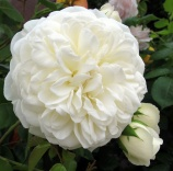 A creamy white rose with several buds