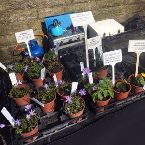 Potted anemones on a plant stand with the smallholder's kettle