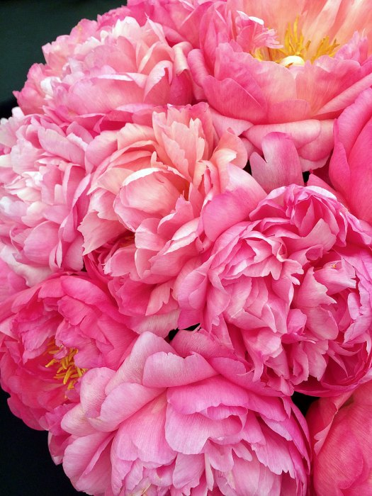Close up of peonies showing their ruffled petals