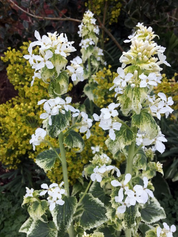 Plant with white-edged leaves and white four petalled flowers