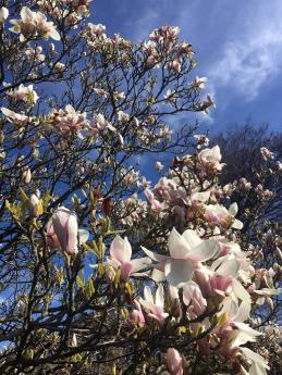 Looking up through the branches of a towering magnolia tree