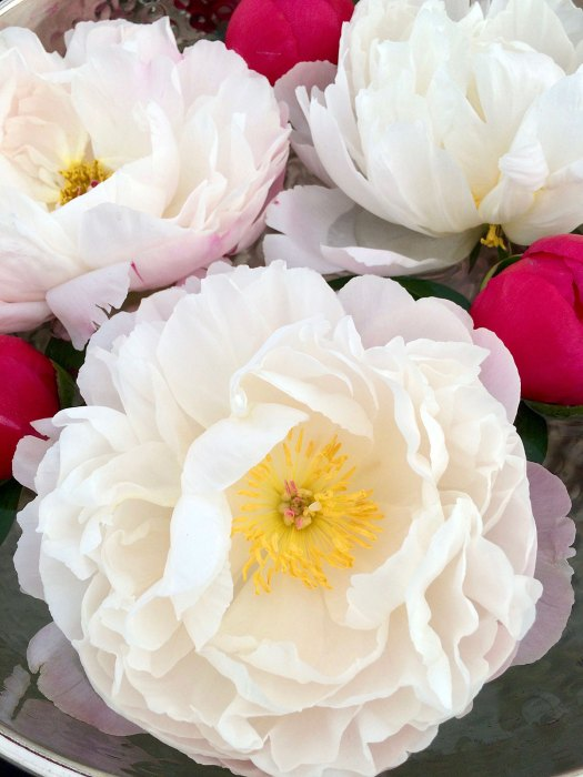 White peonies with coral pink buds