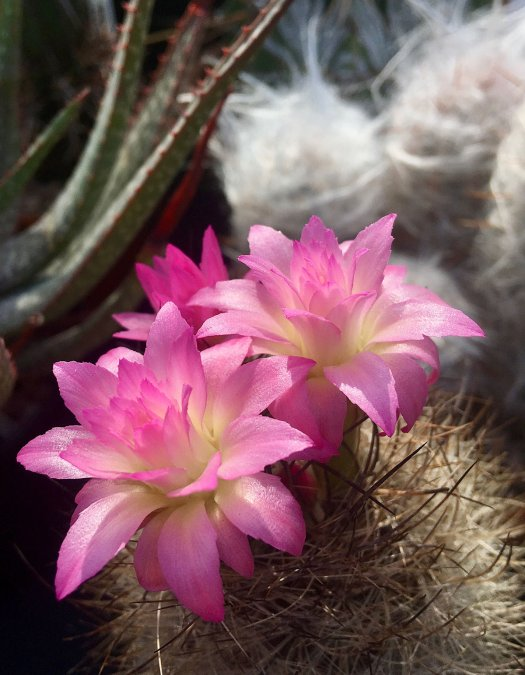 A small, spiny cactus with pink flowers