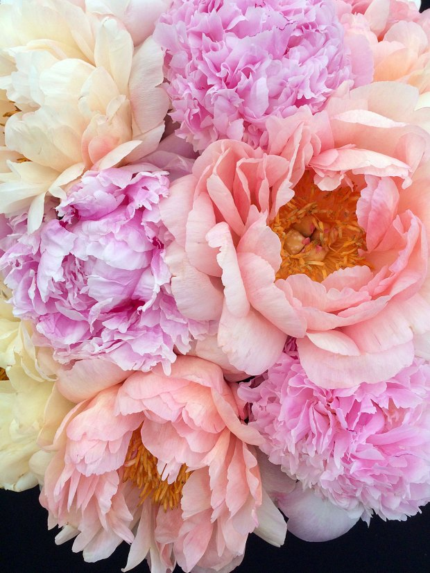 Close up of pink, peach and cream peonies