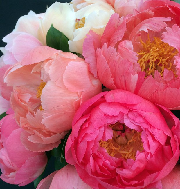 Peony flowers with open, chalice shaped flowers
