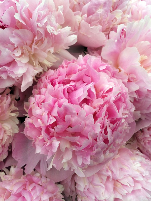 Fully double peony flower in shades of pink