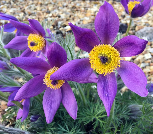 Purple flowers with yellow stamens