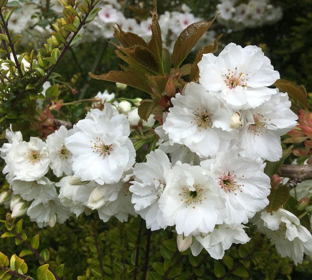 Tree with white blossom