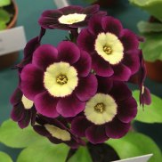 Crimson auricula with a pale yellow centre