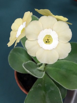 Pale auricula with a white central ring
