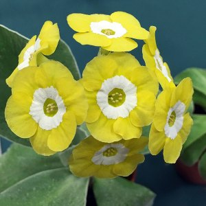 Pure yellow and white auricula