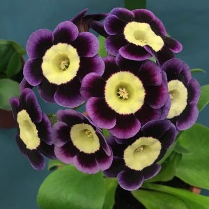 Purple auricula with a pale yellow centre