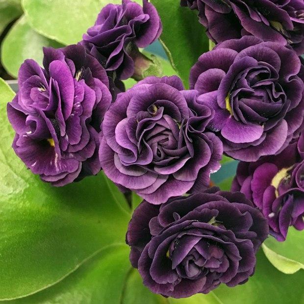 Bold purple double flowers