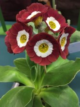 Dusky strawberry coloured auricula