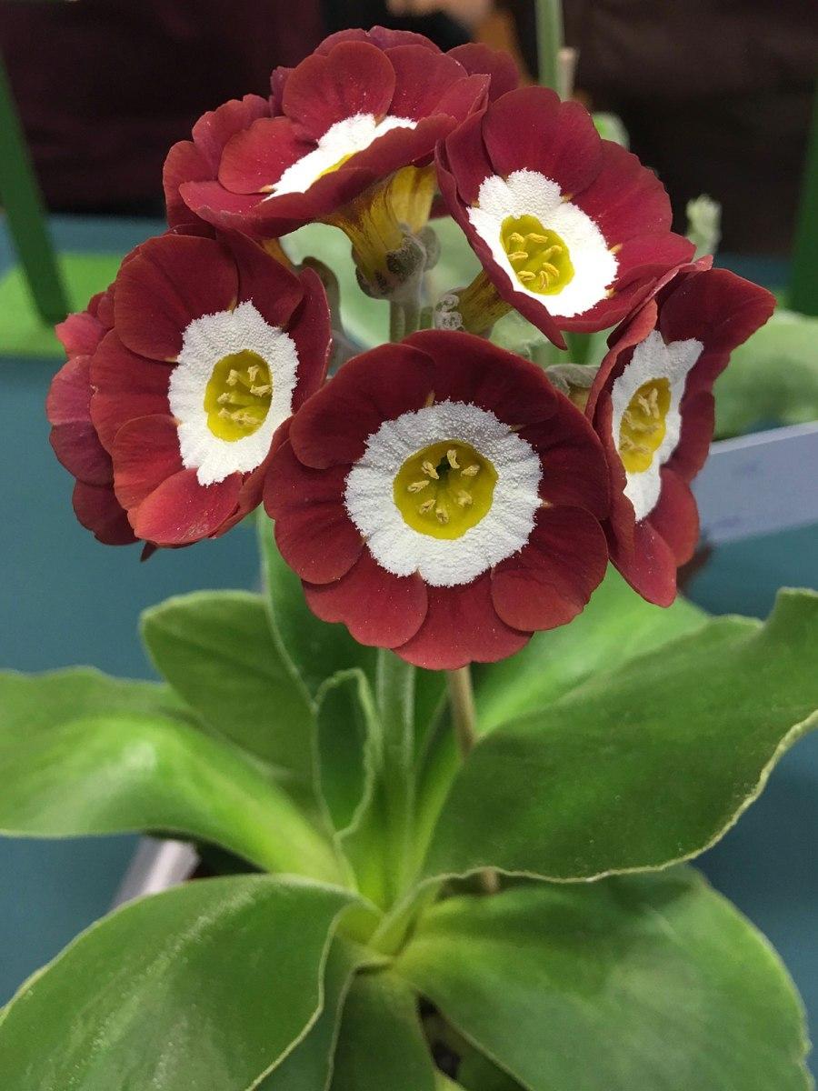 Dusky strawberry coloured auricula