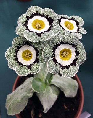 Auricula with silver edge, black feathering, white ring and yellow eye