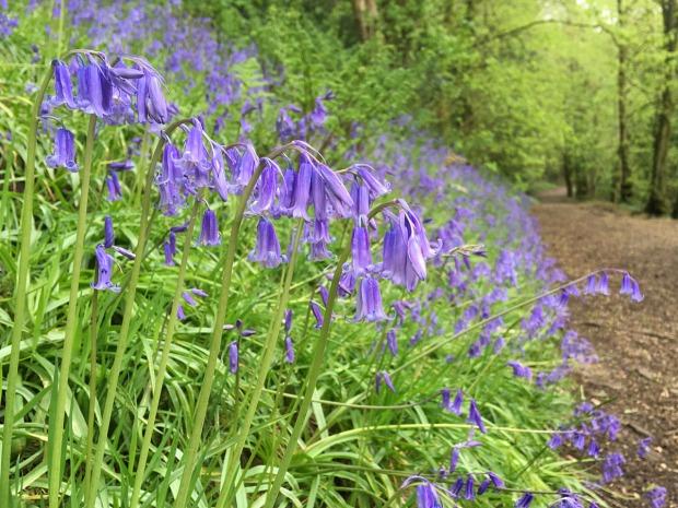 Bluebells along a path through a wood