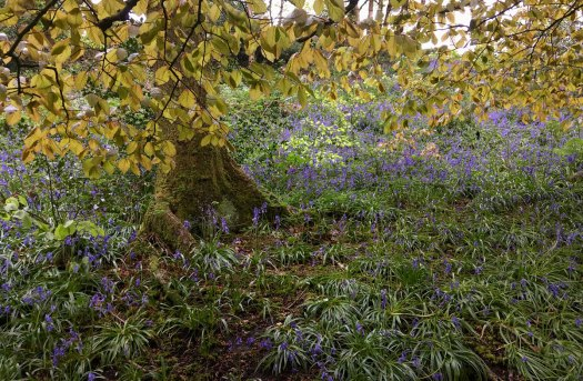 Leaves hanging over bluebells