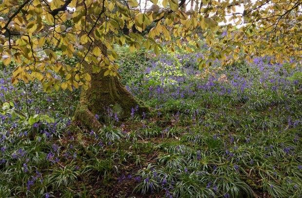 Leaves hanging over bluebells