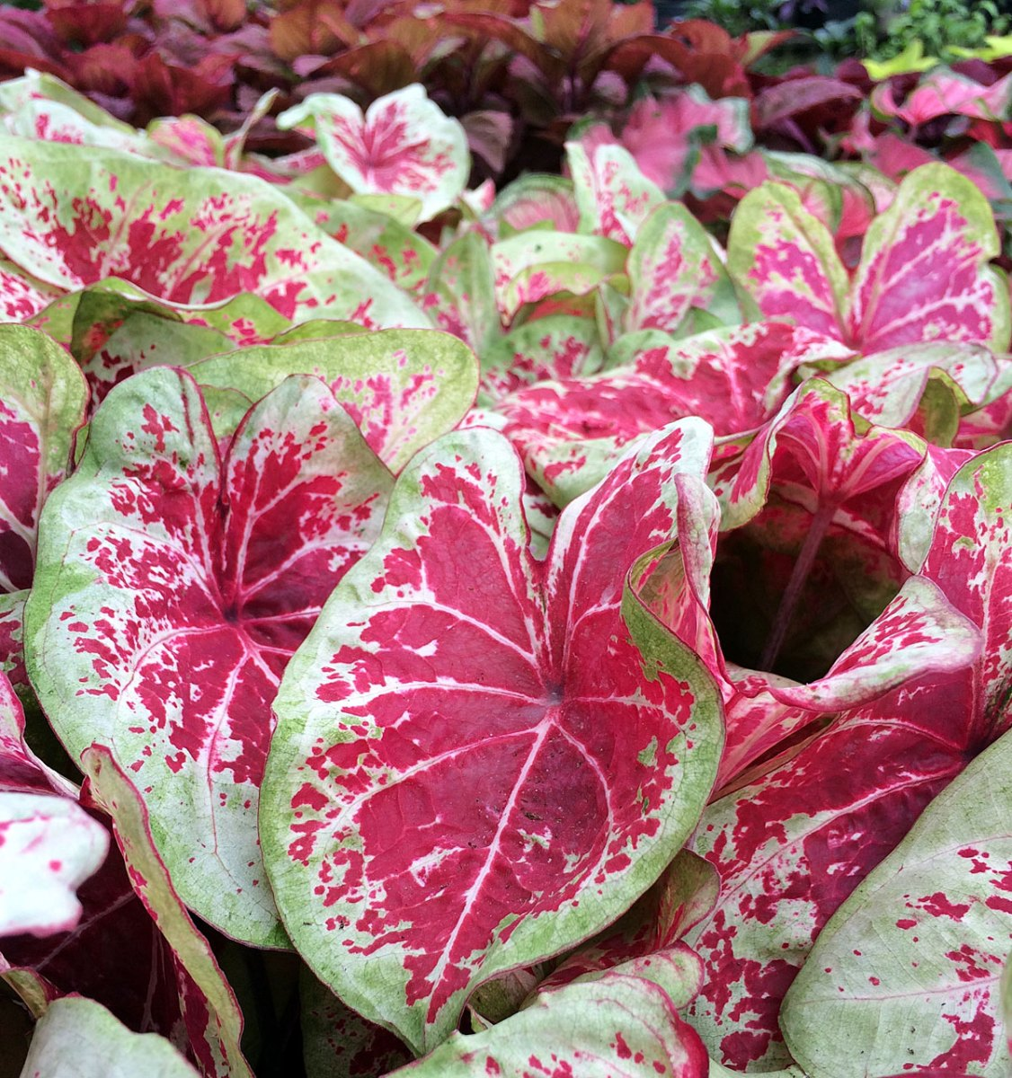 Red caladium leaves