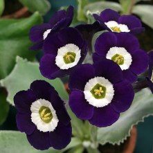 Rich purple blue auricula with white eyes