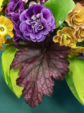 Purple double auricula in a flower posy
