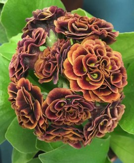 Tightly packed double rosette auricula
