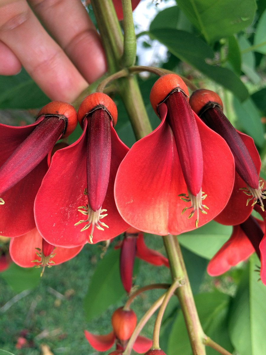 Erythrina crista-galli flowers
