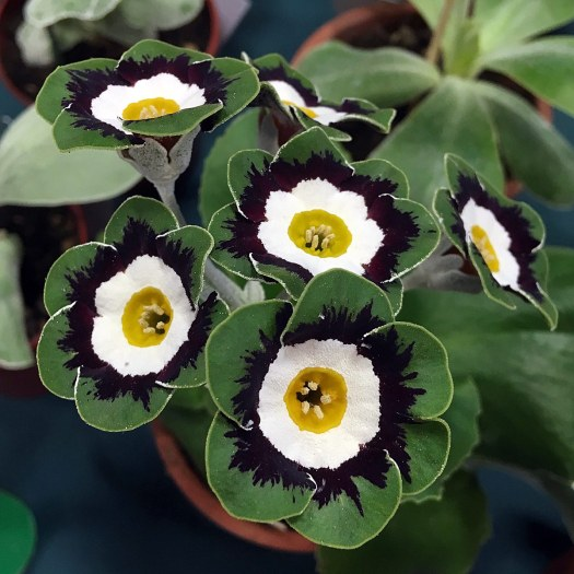 Flowers with yellow eye, white ring, black feathering and green edge