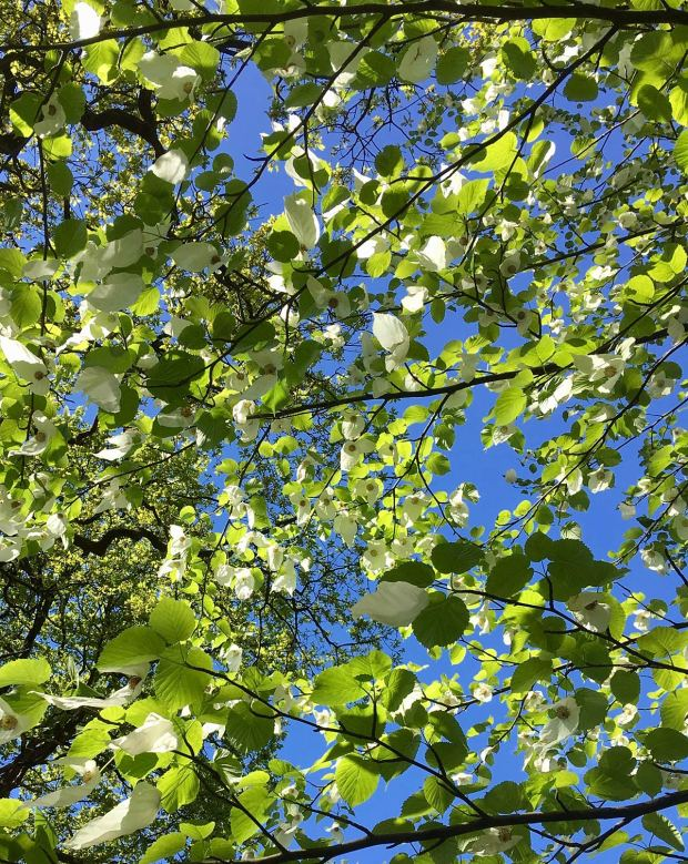Handkerchief tree canopy (Davidia involucrata)