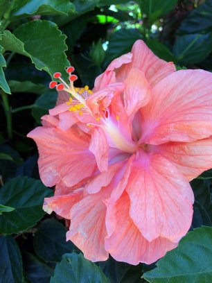Double peach hibiscus