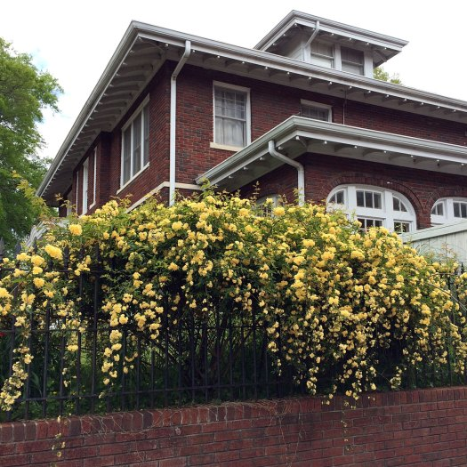 Yellow Lady Bank's Rose several feet long on a fence