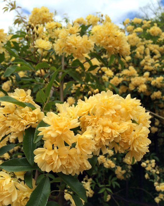Clusters of blooms on a yellow Lady Banks' Rose