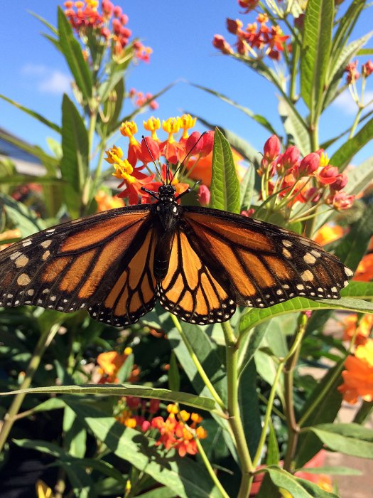 Monarch butterfly on a milkweed (Asclepias)
