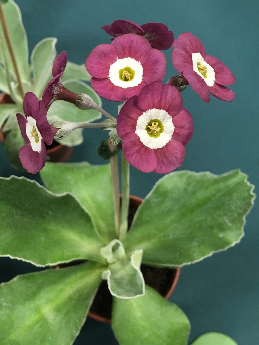 Staked stem of self coloured auricula flowers